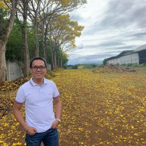 Flores urges folks to enjoy golden trumpet trees while still in bloom